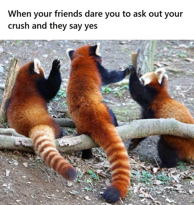 Red panda - When your friends dare you to ask out your crush and they say yes