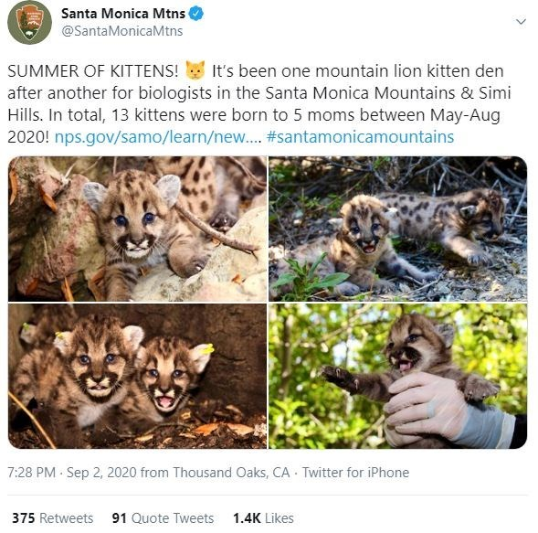 Wildlife - Santa Monica Mtns @SantaMonicaMtns SUMMER OF KITTENS! It's been one mountain lion kitten den after another for biologists in the Santa Monica Mountains & Simi Hills. In total, 13 kittens were born to 5 moms between May-Aug 2020! nps.gov/samo/learn/new. #santamonicamountains 7:28 PM · Sep 2, 2020 from Thousand Oaks, CA Twitter for iPhone 375 Retweets 91 Quote Tweets 1.4K Likes