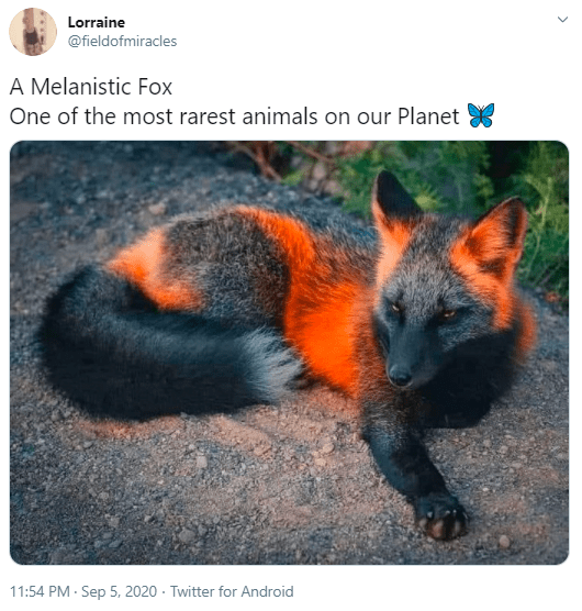 Red fox - Lorraine @fieldofmiracles A Melanistic Fox One of the most rarest animals on our Planet 11:54 PM - Sep 5, 2020 - Twitter for Android