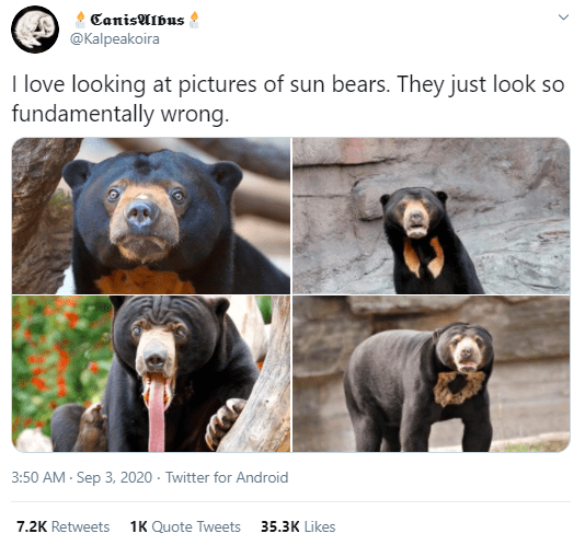 Sun bear - CanisAlbus   @Kalpeakoira I love looking at pictures of sun bears. They just look so fundamentally wrong. 3:50 AM - Sep 3, 2020 · Twitter for Android 7.2K Retweets 1K Quote Tweets 35.3K Likes >