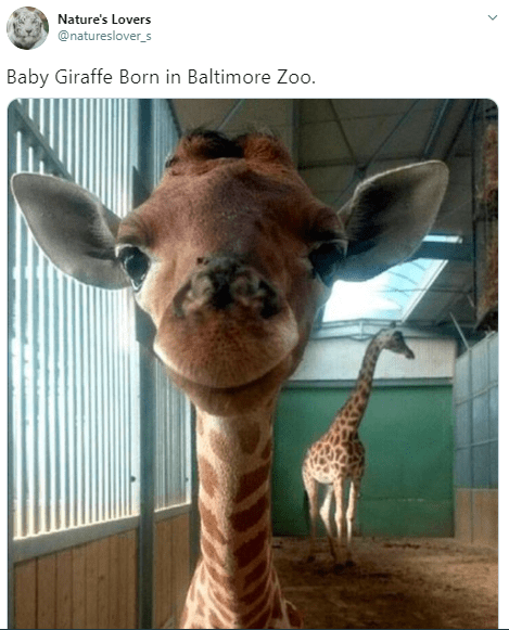 Giraffe - Nature's Lovers @natureslover_s Baby Giraffe Born in Baltimore Zoo.