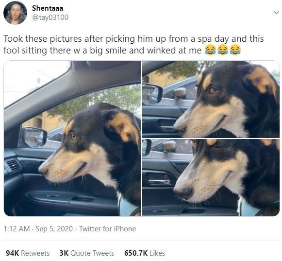 Dog - Shentaaa @tay03100 Took these pictures after picking him up from a spa day and this fool sitting there wa big smile and winked at me eee 1:12 AM Sep 5, 2020 · Twitter for iPhone 94K Retweets 3K Quote Tweets 650.7K Likes