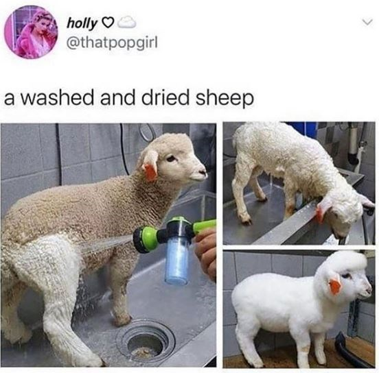 holly O @thatpopgirl a washed and dried sheep cute and funny tweet before and after pics of a sheep little lamb white and clean