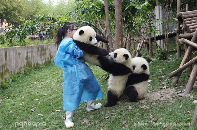Panda - pandapia 拍地点,成都大熊猫繁有研究基地