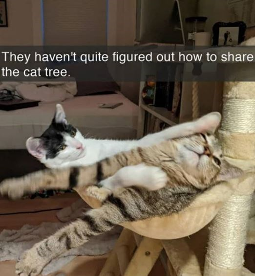 Cat - They haven't quite figured out how to share the cat tree.