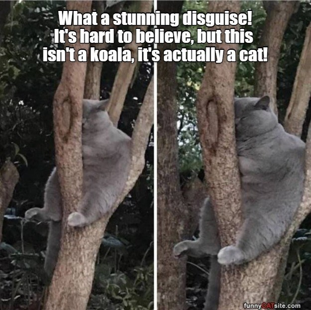 Adaptation - What a stunning disguise! It's hard to believe, but this isn'ta koala, its actually a cat! funnyCATsite.com