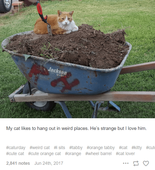 Wheelbarrow - Jackson My cat likes to hang out in weird places. He's strange but I love him. #caturday #weird cat #i sits #tabby #orange tabby #cat #kitty #cut #cute cat #cute orange cat #orange #wheel barrel #cat lover ... 2,841 notes Jun 24th, 2017