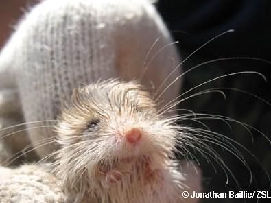 Rat - © Jonathan Baillie/ ZSL