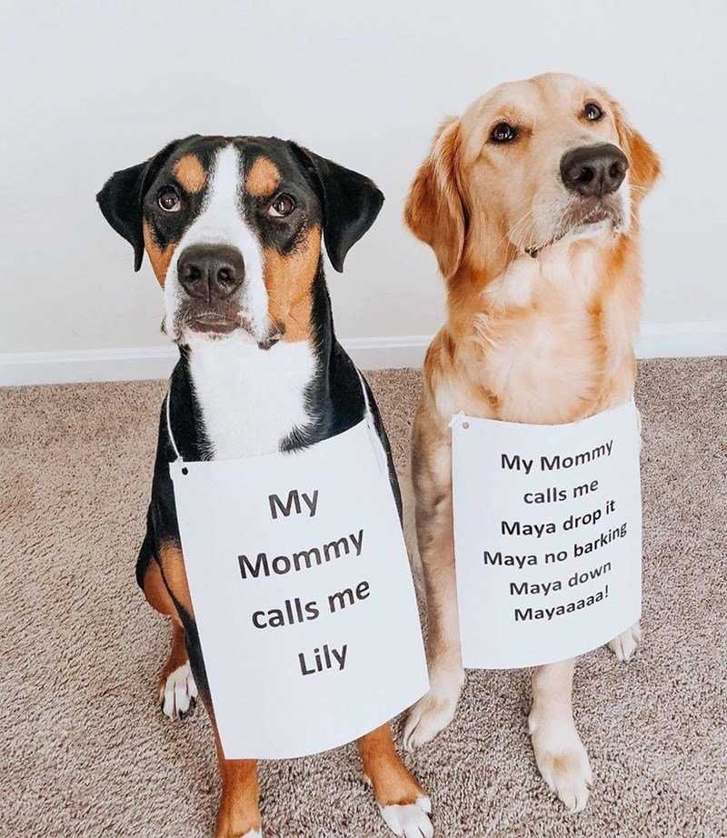 two dogs wearing signs around their necks Mommy calls me Lily Mommy calls me aya drop aya no barging Maya down Mayaaaaa!