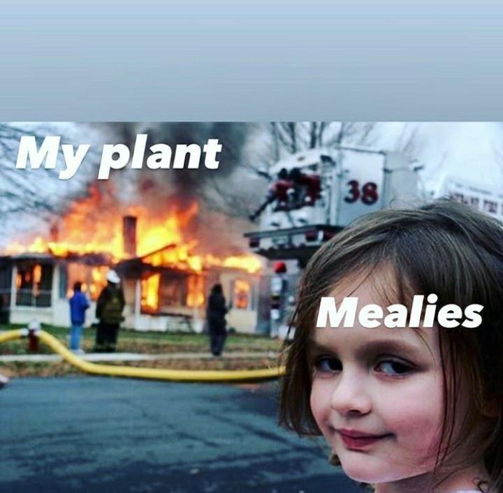 Sky - My plant 38 Mealies