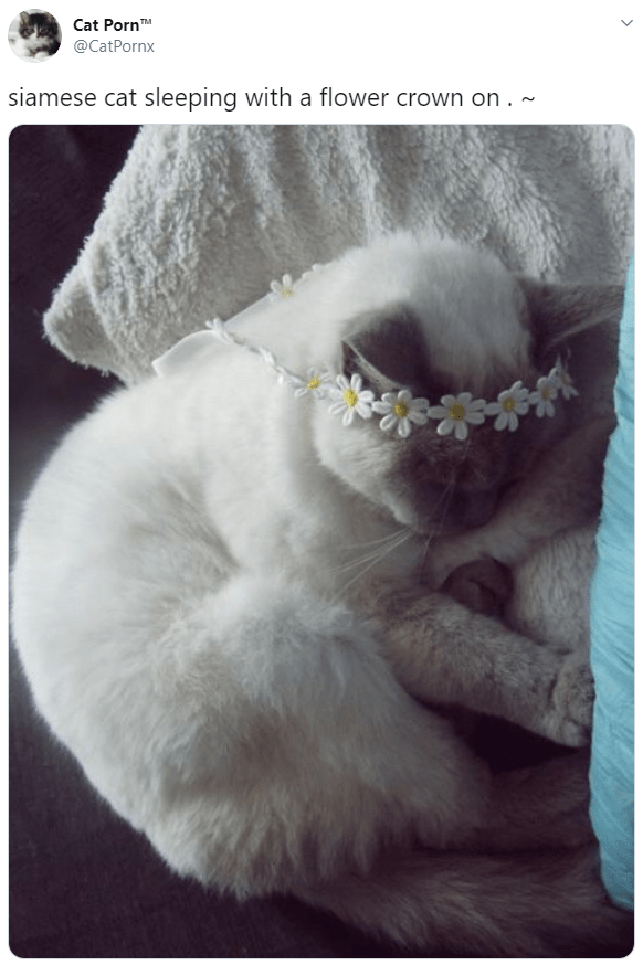 Fur - Cat PornM @CatPornx siamese cat sleeping with a flower crown on . ~ >