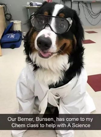 Dog - Our Berner, Bunsen, has come to my Chem class to help with A Science