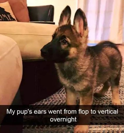 Mammal - OME My pup's ears went from flop to vertical overnight