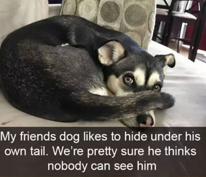 Photo caption - My friends dog likes to hide under his own tail. We're pretty sure he thinks nobody can see him