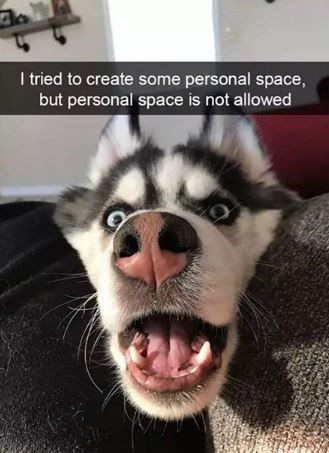 Siberian husky - I tried to create some personal space, but personal space is not allowed