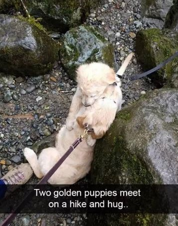 Canidae - Two golden puppies meet on a hike and hug..