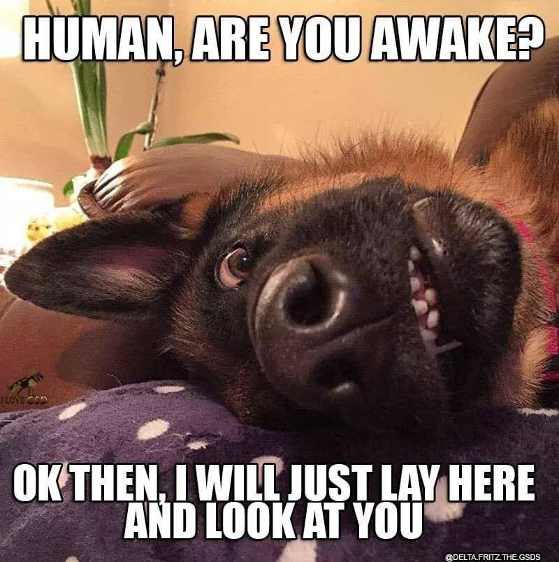 Dog - Photo caption - HUMAN, ARE YOU AWAKE? LOVE CSD OK THEN, IWILL JUST LAY HERE AND LOOK AT YOU @DELTA.FRITZ.THE.GSDS
