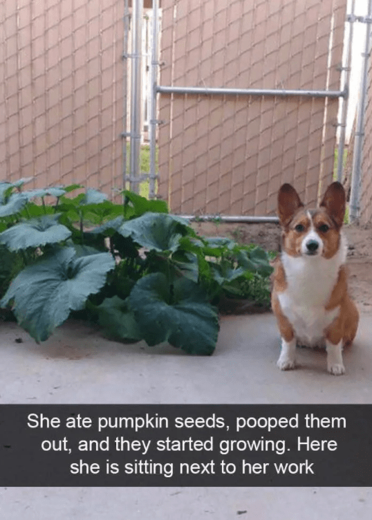 Dog - Welsh Corgi - She ate pumpkin seeds, pooped them out, and they started growing. Here she is sitting next to her work