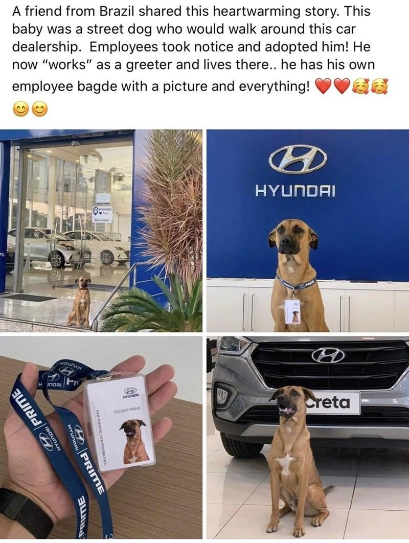 """Canidae - A friend from Brazil shared this heartwarming story. This baby was a street dog who would walk around this car dealership. Employees took notice and adopted him! He now """"works"""" as a greeter and lives there.. he has his own employee bagde with a picture and everything! HYUNDAI aouNAH HINORI Creta TUCson PRIE 9PRIME PRIME"""