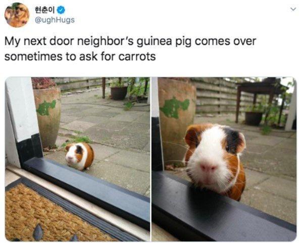 Guinea pig - 현춘이 @ughHugs My next door neighbor's guinea pig comes over sometimes to ask for carrots