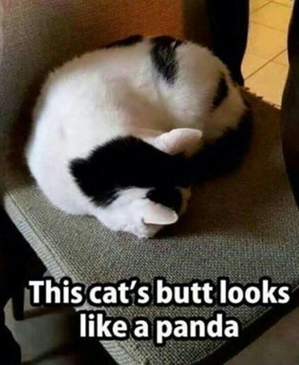 Panda - This cat's butt looks like a panda