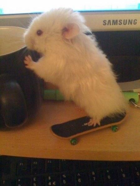 Hamster - SAMSUNG