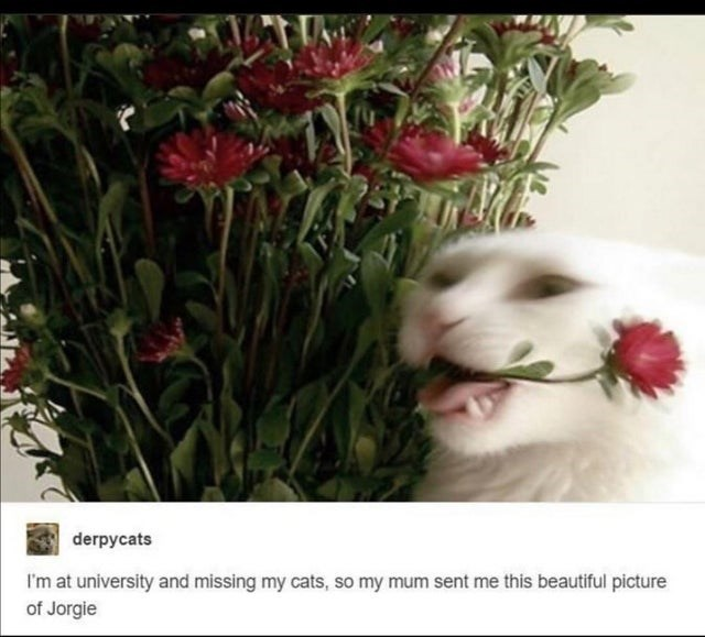 Flower - derpycats I'm at university and missing my cats, so my mum sent me this beautiful picture of Jorgie