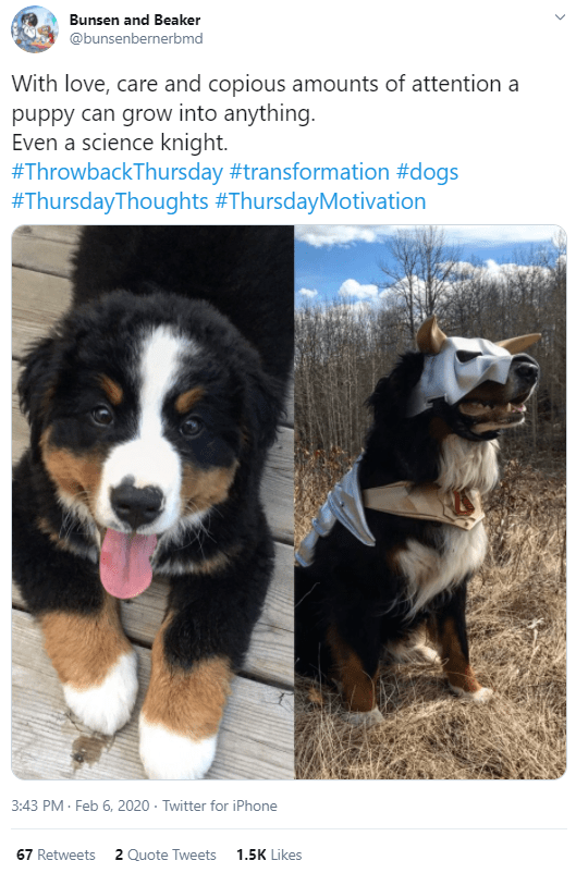 Dog - Bunsen and Beaker @bunsenbernerbmd With love, care and copious amounts of attention a puppy can grow into anything. Even a science knight. #ThrowbackThursday #transformation #dogs #ThursdayThoughts #ThursdayMotivation 3:43 PM · Feb 6, 2020 · Twitter for iPhone 67 Retweets 2 Quote Tweets 1.5K Likes