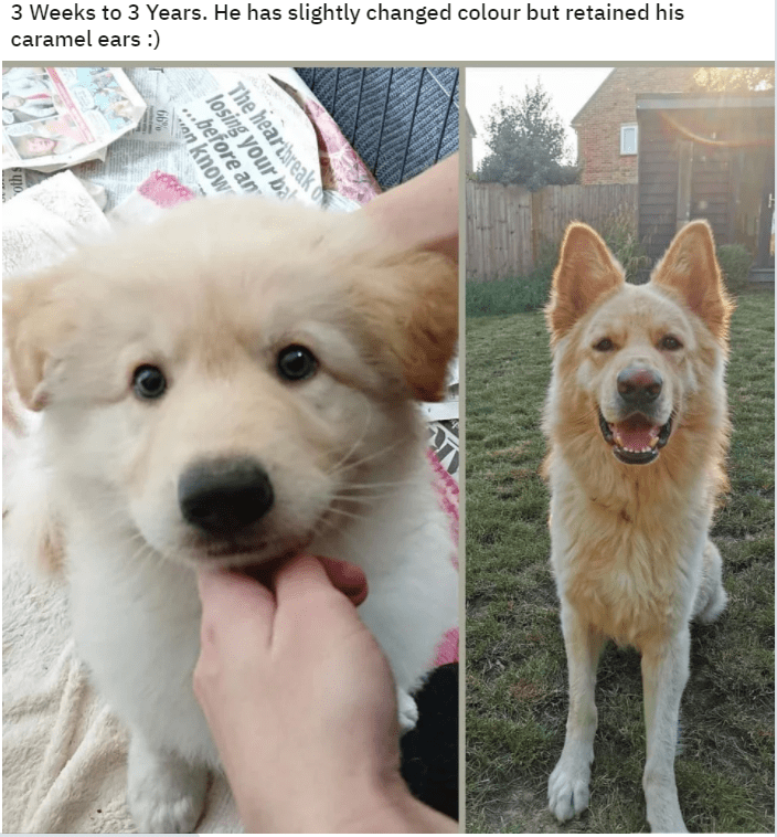 "Dog - 3 Weeks to 3 Years. He has slightly changed colour but retained his caramel ears :) The heartbreak o losing your ba ""before an on know 66% oth s"
