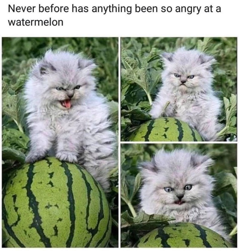 Cat - Never before has anything been so angry at a watermelon