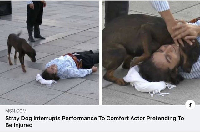 Canidae - i MSN.COM Stray Dog Interrupts Performance To Comfort Actor Pretending To Be Injured