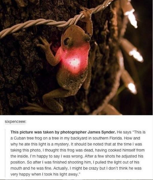 """Organism - sixpenceee: This picture was taken by photographer James Synder. He says """"This is a Cuban tree frog on a tree in my backyard in southern Florida. How and why he ate this light is a mystery. It should be noted that at the time I was taking this photo, I thought this frog was dead, having cooked himself from the inside. I'm happy to say I was wrong. After a few shots he adjusted his position. So after I was finished shooting him, I pulled the light out of his mouth and he was fine. Actu"""
