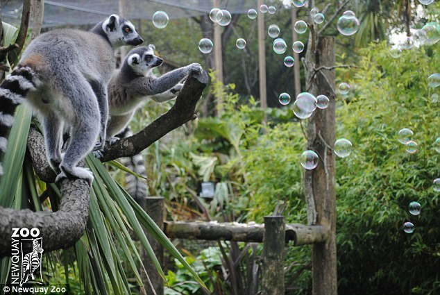 Lemur - ZOO O Newquay Zoo NEWQUAYN