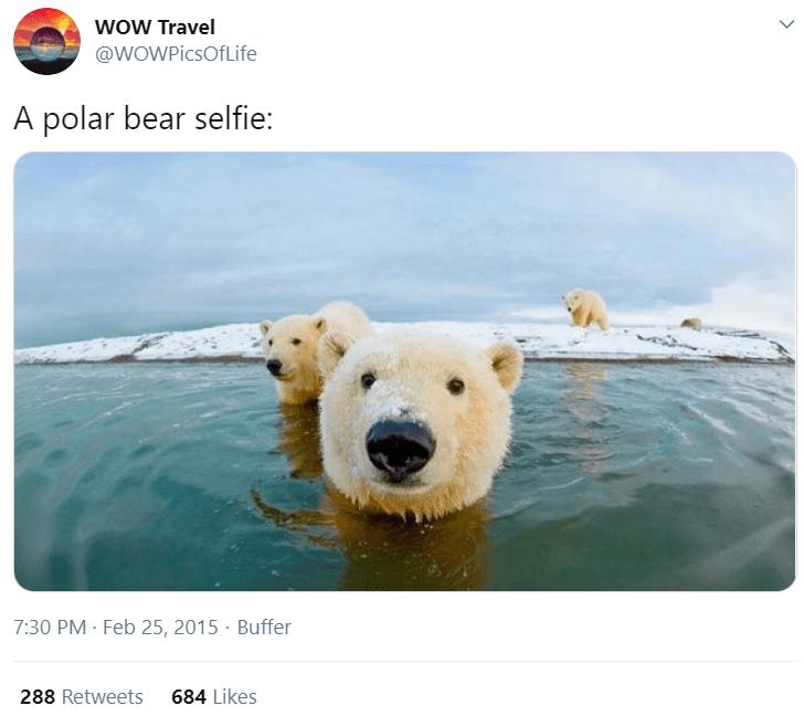 Polar bear - wOw Travel @WOWPicsOfLife A polar bear selfie: 7:30 PM · Feb 25, 2015 · Buffer 288 Retweets 684 Likes >