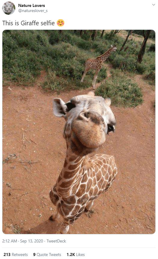 Mammal - Nature Lovers @natureslover_s This is Giraffe selfie a 2:12 AM - Sep 13, 2020 · TweetDeck 213 Retweets 9 Quote Tweets 1.2K Likes