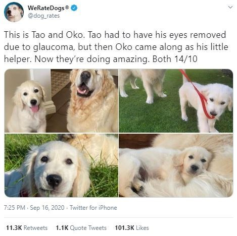 Vertebrate - WeRateDogs @dog_rates This is Tao and Oko. Tao had to have his eyes removed due to glaucoma, but then Oko came along as his little helper. Now they're doing amazing. Both 14/10 7:25 PM Sep 16, 2020 · Twitter for iPhone 11.3K Retweets 1.1K Quote Tweets 101.3K Likes