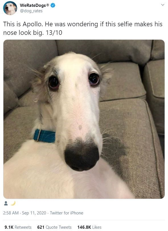 Mammal - WeRateDogs® @dog_rates This is Apollo. He was wondering if this selfie makes his nose look big. 13/10 2:58 AM - Sep 11, 2020 - Twitter for iPhone 9.1K Retweets 621 Quote Tweets 146.8K Likes