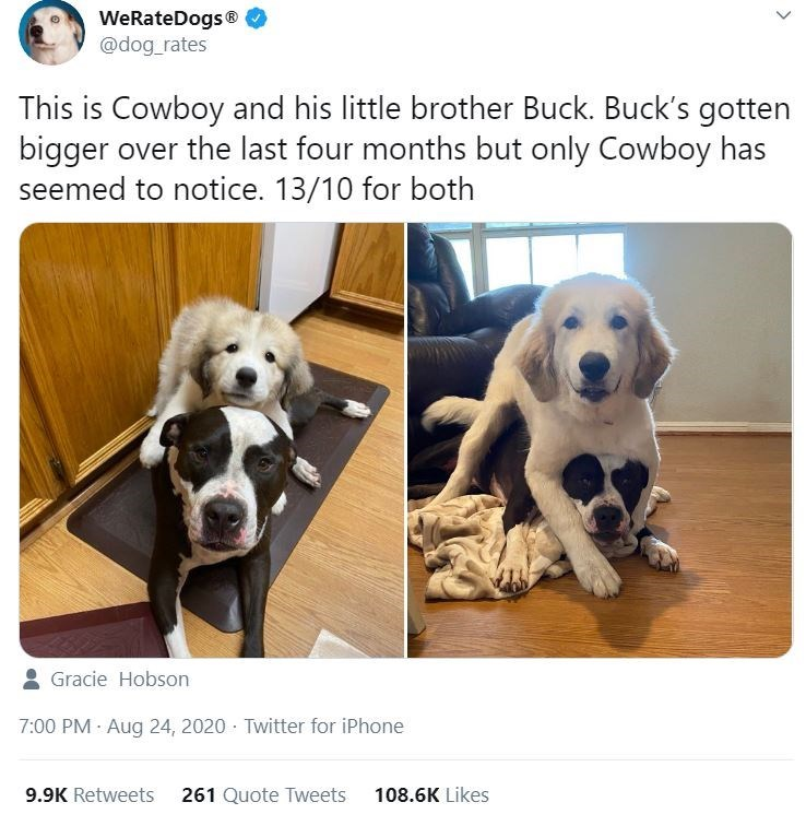Dog - WeRateDogs ® @dog_rates This is Cowboy and his little brother Buck. Buck's gotten bigger over the last four months but only Cowboy has seemed to notice. 13/10 for both Gracie Hobson 7:00 PM - Aug 24, 2020 - Twitter for iPhone 9.9K Retweets 261 Quote Tweets 108.6K Likes >