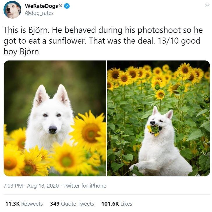 Vertebrate - WeRateDogs® @dog_rates This is Björn. He behaved during his photoshoot so he got to eat a sunflower. That was the deal. 13/10 good boy Björn 7:03 PM Aug 18, 2020 · Twitter for iPhone 11.3K Retweets 349 Quote Tweets 101.6K Likes