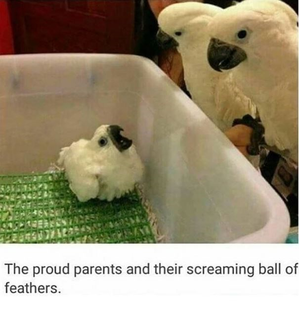 Cockatoo - The proud parents and their screaming ball of feathers.