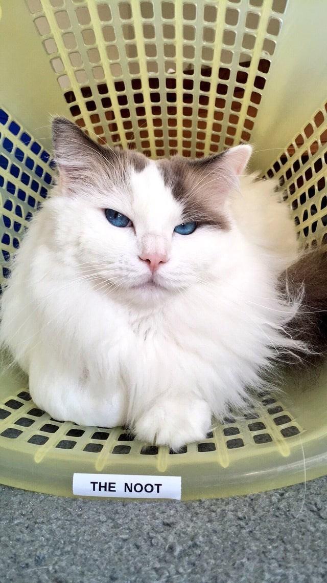 Cat - THE NOOT