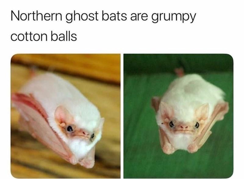 Skin - Northern ghost bats are grumpy cotton balls