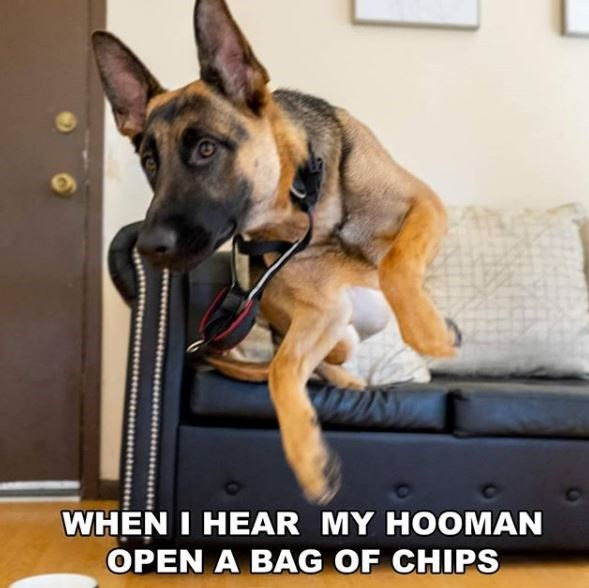 Dog - WHEN I HEAR MY HOOMAN OPEN A BAG OF CHIPS