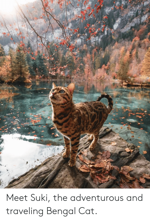 Cat - Meet Suki, the adventurous and traveling Bengal Cat.