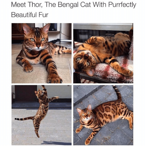Cat - Meet Thor, The Bengal Cat With Purrfectly Beautiful Fur