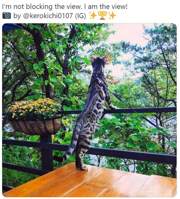 Felidae - I'm not blocking the view. I am the view! Oby @kerokichi0107 (IG)