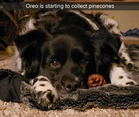 Dog - Oreo is starting to collect pinecones