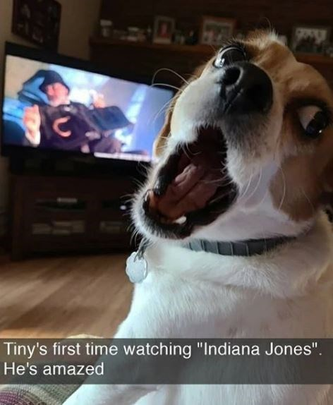 """Dog - Tiny's first time watching """"Indiana Jones"""". He's amazed"""