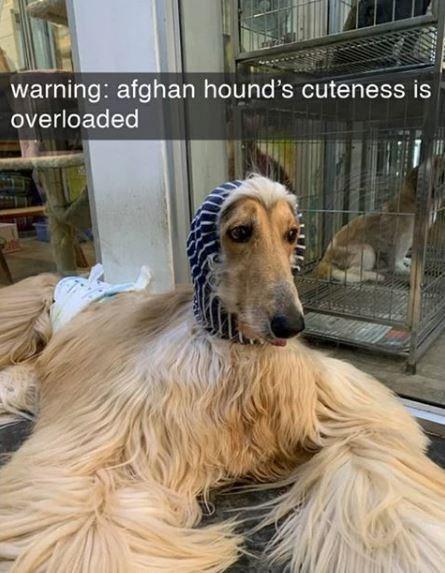 Vertebrate - warning: afghan hound's cuteness is overloaded