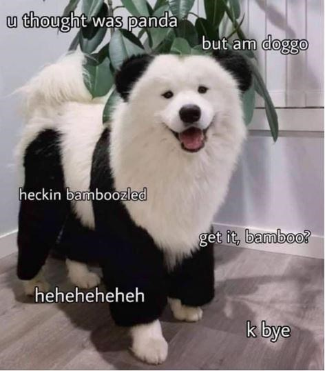 u thought panda but am doggo heckin bamboozled bamboo heheheheheh cute fluffy white dog with black markings like a panda bear